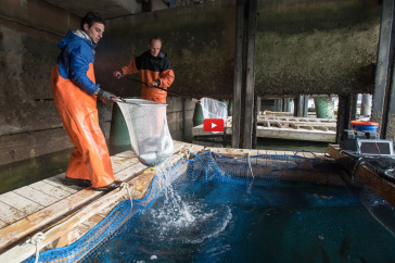 NH fishermen and UNH researchers at work harvesting steelhead trout
