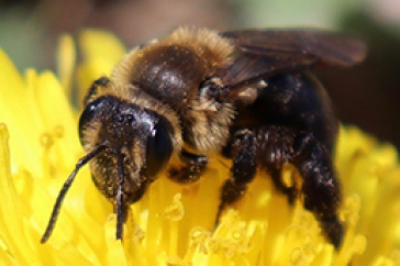 Andrena vicinia bee pollinating a yellow flower