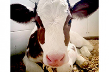 Calf at UNH Fairchild Dairy and Teaching Research Center