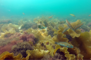 Cunner fish still visible while looking for refuge in kelp in the Isles of Shoals