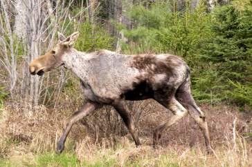 """Ghost moose"" illustrates adult moose with typical hair loss associated with winter ticks."