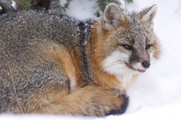 Picture of a gray fox in the snow