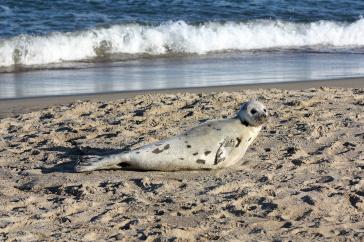 Photo of harp seal