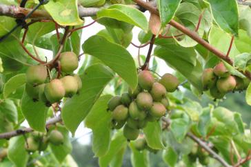 Photo of kiwiberries bunch