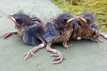 saltmarsh sparrows