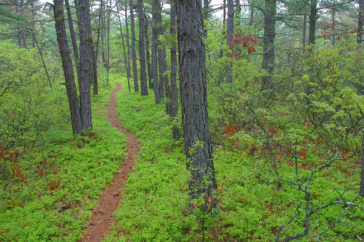 Ossipee Pine Barrens