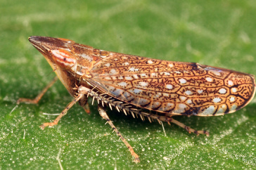 leafhopper insect