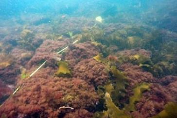 Turf Seaweed