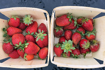 UNH strawberries