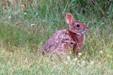 New England Cottontail Rabbit