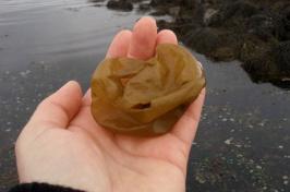 sea potatoe seaweed