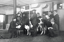 cow judging