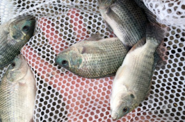 tilapia caught in a net