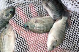 tilapia caught in a net