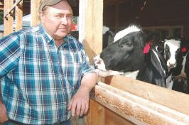 Rick Flint, a fourth-generation dairy farmer on the Androscoggin River in Milan, gets nibbled Wednesday afternoon by a steer that is part of a group that is receiving a special diet to help them grow bigger, faster and better than their forage-fed counterparts. (JOHN KOZIOL/Union Leader Correspondent)