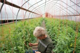 Jane Presby strings up tomato plants