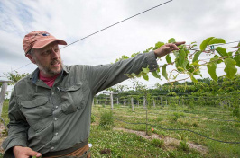 UNH assistant professor of specialty crop improvement Iago Hale looking at a kiwiberry vine