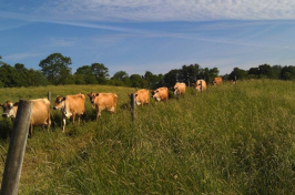 A herd of lactating Jersey dairy cows at the UNH Organic Dairy Research Farm walk to pasture