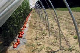 UNH Tomato Research
