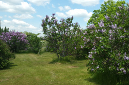 Lilacs at Woodman Farm at UNH