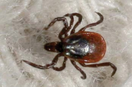 Blacklegged ticks like this one can transmit Lyme disease. (UNH Cooperative Extension photo)