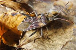 Western Conifer Seed Bug By Siga (Own work) [GFDL (http://www.gnu.org/copyleft/fdl.html)