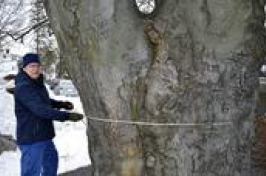 a man measuring a large tree (AP Photo/Michael Casey)