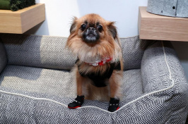 small dog sitting on a dog bed, Photo by Astrid Stawiarz/Getty Images for Max-Bone