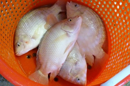tilapia in an orange bucket