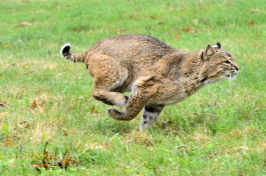 A bobcat runs after being released last month in Chesterfield, New Hampshire. (Kristopher Radder/Brattleboro Reformer via AP)