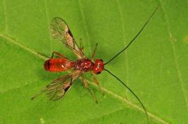a braconid wasp on a leaf