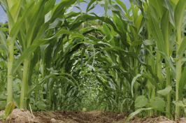 A view of a cornfield