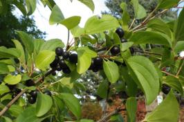 glossy buckthorn shrub SOURCE: Flickr/ Matt Lavin