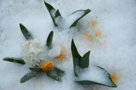 ice coating spring flowers (Photo: Jonathan Ernst/Reuters)