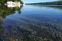 A cyanobacterial bloom on the surface of a lake