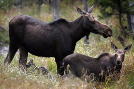 a NH moose with calves