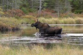 Moose at the Nulhegan Basin Division of the Silvio O. Conte National Fish and Wildlife Refuge in Vermont. (Photo: David Govatski/USFWS, Flickr CC BY 2.0)