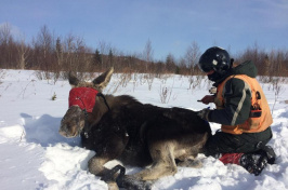 a moose captured for a tick count