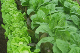 Hydroponic lettuce at UNH Thompson School greenhouse
