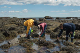 UNH Cooperative Extension Seaweed Mania Workshop members collecting seaweed