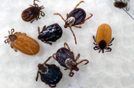 Ticks are displayed that were collected by South Street Veterinary Services in Pittsfield, Mass., on May 15, 2017. Tick numbers are on the rise across New England this spring, raising the prospect of an increase in Lyme and other diseases. Ben Garver / Berkshire Eagle via AP file
