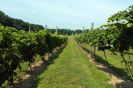 grape vines at UNH's Woodman Horticultural Research Farm, a facility of the the NH Agricultural Experiment Station