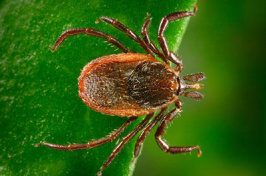Western Black-legged tick (NPS.GOV)
