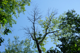 Ash tree infested with the emerald ash borer