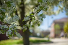 a spring blossom on the campus of the University of New Hampshire in Durham