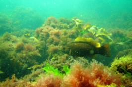 Undersea image of a fish in seaweed