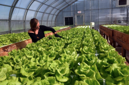 aquaponic lettuce growing in a UNH greenhouse