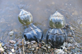 Four horseshoe crabs partially submerged near shoreline