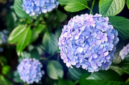 A photo of hydrangeas