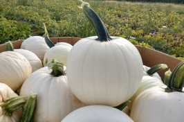 Moonshine was the first white pumpkin released from UNH, a medium-size pumpkin with a dark handle.